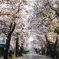 松栄(まつさか)桜並木